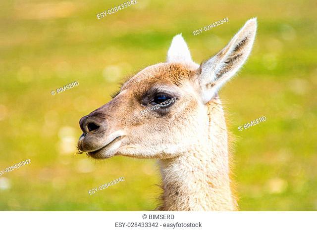 llama with breeding