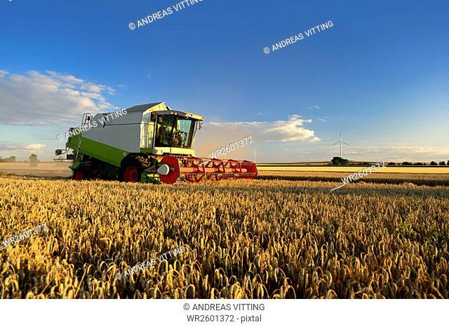 Grain harvest, combine harvester in wheat field, Saalekreis district, Saxony Anhalt, Germany