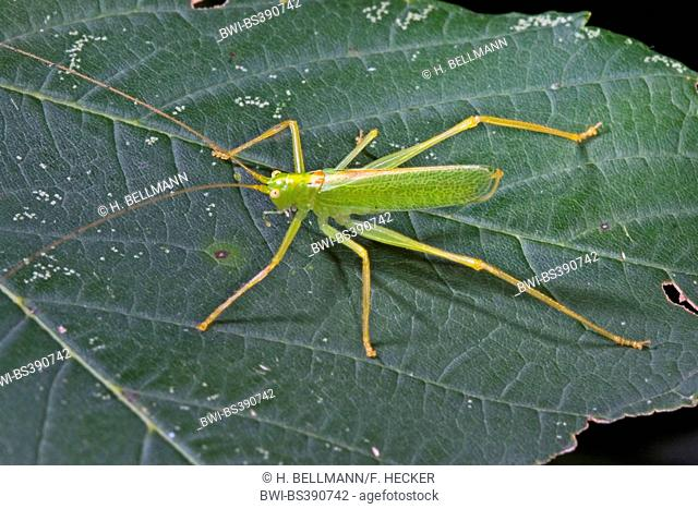 Oak bushcricket, Drumming katydid (Meconema thalassinum, Meconema varium), male sitting on an oak leaf, Germany