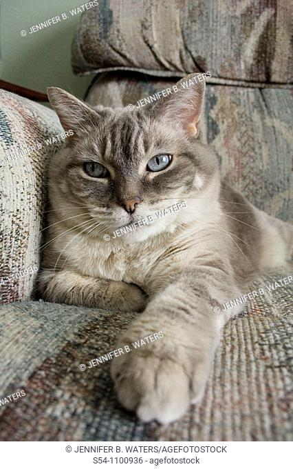 An indoor cat sits on a couch