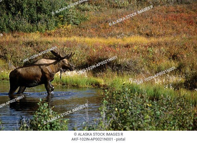 Bull Moose Exits Pond near Eielson Visitor Center AK IN Denali NP Summer