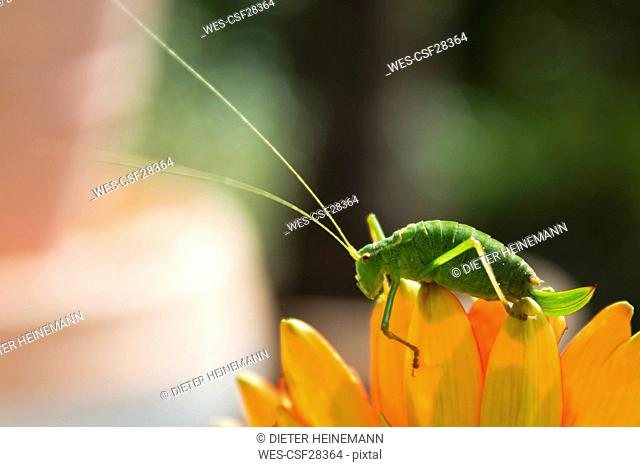 Great green bush-cricket on blossom