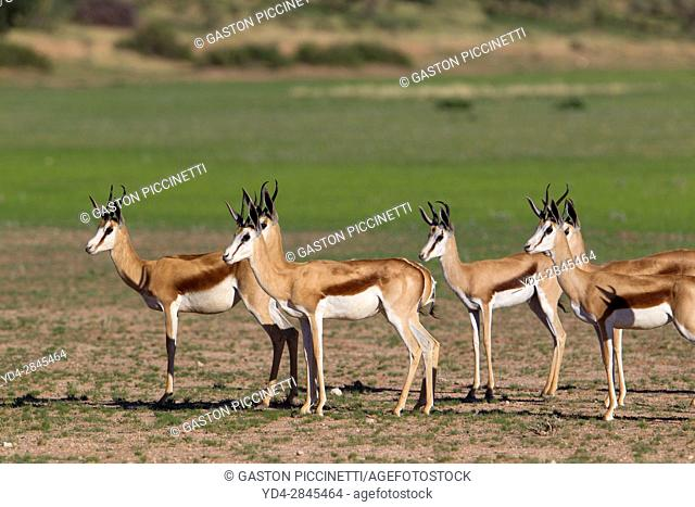 Springbok (Antodorcas marsupialis), alert, Kgalagadi Transfrontier Park in rainy season, Kalhari Desert, South Africa/Botswana