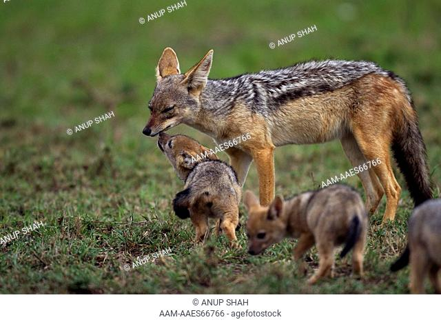 Black-backed jackal pup aged 5 weeks begging for food (Canis mesomelas). Maasai Mara National Reserve, Kenya. Aug 2011