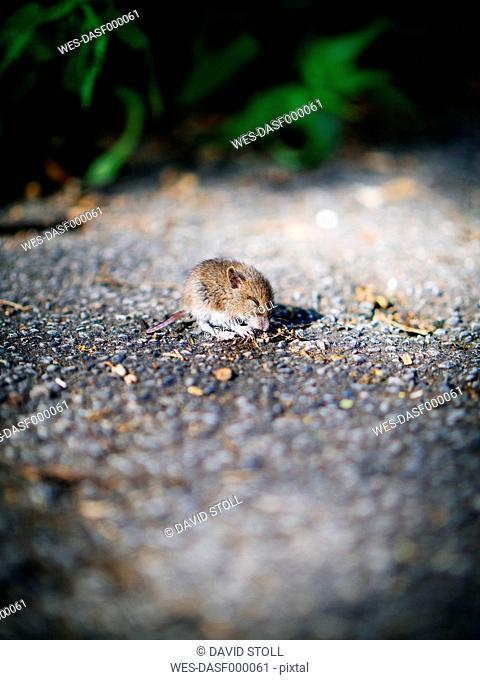 Vole, Arvicolinae, young animal