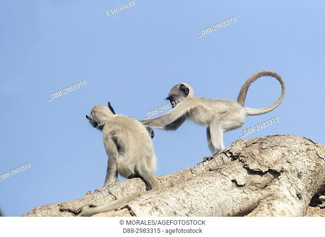 Asia, India, Rajasthan, Ranthambore National Park, Northern plains gray langur or Hanuman Langur (Semnopithecus entellus), play in a Banyan Tree
