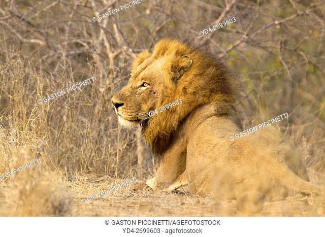 African Liom (Panthera leo) - Male, Kruger National Park, South Africa
