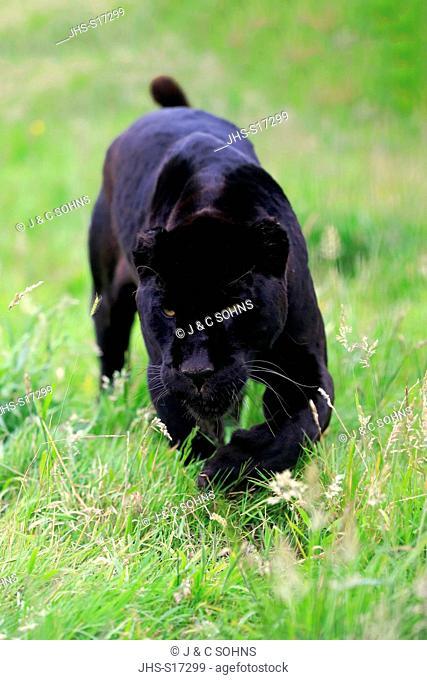Jaguar, Black Panther, (Panthera onca), adult stalking, South America