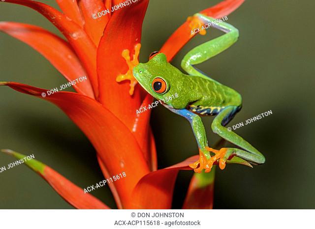 Red-eyed Tree Frog (Agalychnis callidryas), Captive, Reptilia reptile zoo, Vaughan, Ontario, Canada