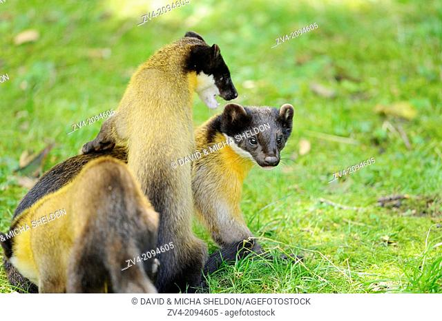 Close-up of three yellow-throated marten or kharza (Martes flavigula) playing on the ground