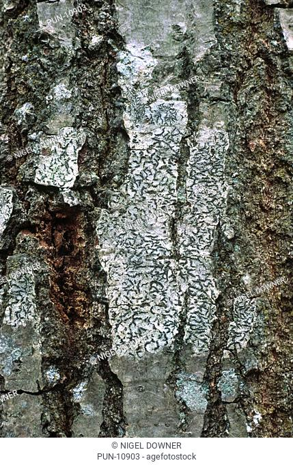 Close-up abstract of a patch of crust-forming lichen Graphis elegans growing on the bark of a birch tree in a Norfolk wood