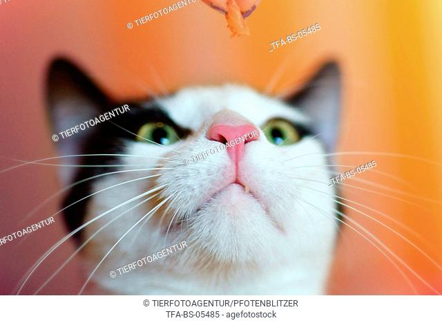 domestic cat mouth