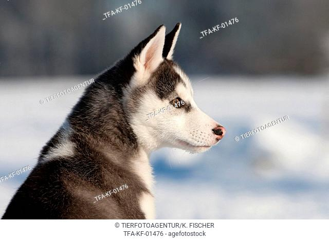 Siberian Husky Puppy Portrait