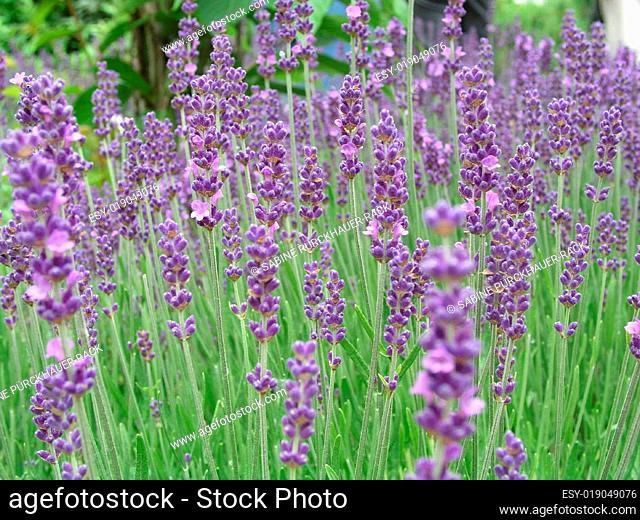 Lavendelblüte II