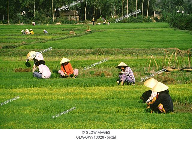 Farmers working in rice fields outside Danang, Vietnam
