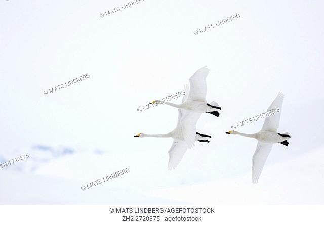 Three Whooper swans flying together, Gällivare, Swedish Lapland, Sweden