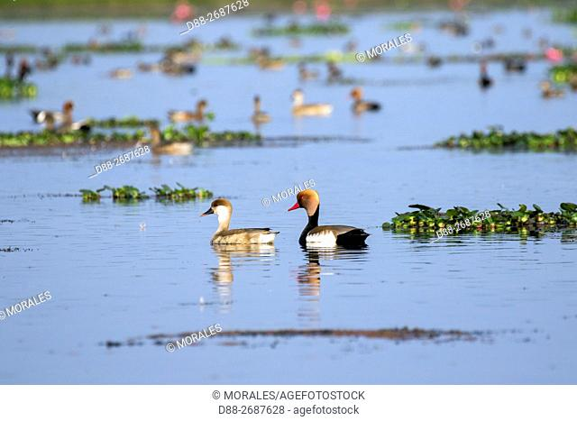 South east Asia, India,Assam state,Brahmapoutra,. Red-crested Pochard (Netta rufina)