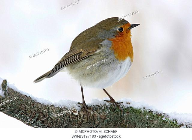 European robin (Erithacus rubecula), sitting on a twig, Germany, Rhineland-Palatinate