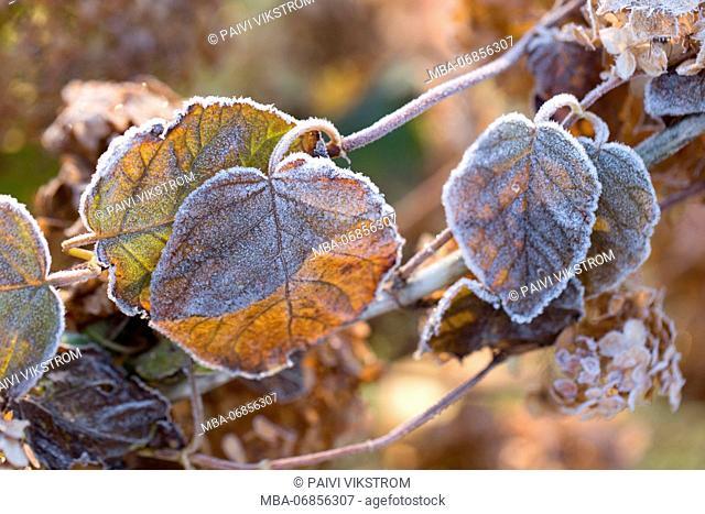 Frosty hydrangea leaves on a blur background