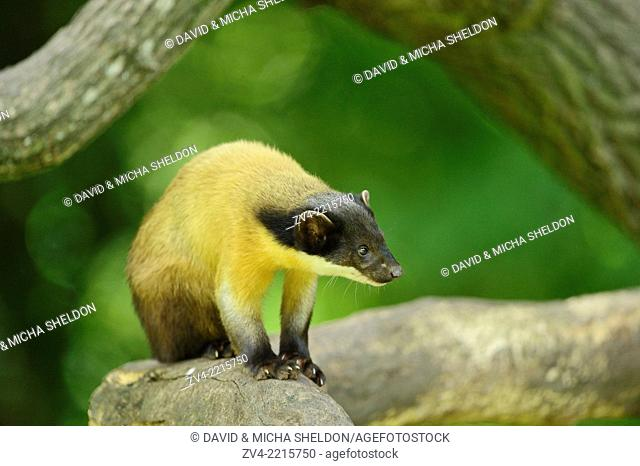 Close-up of yellow-throated marten (Martes flavigula) on a tree branch in spring