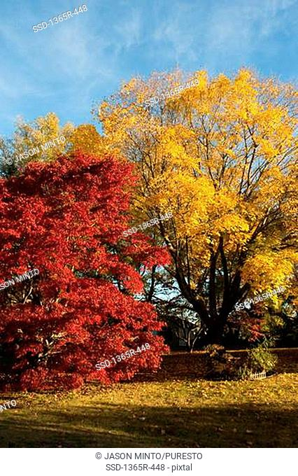 Maple trees in a park, Dover, Kent County, Delaware, USA