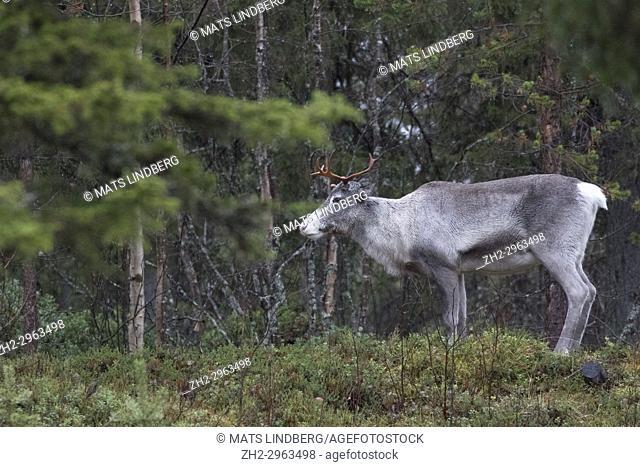 Reindeer, Rangifer tarandus in forest, antlers on the head, Kiruna county, Swedish Lapland, Sweden