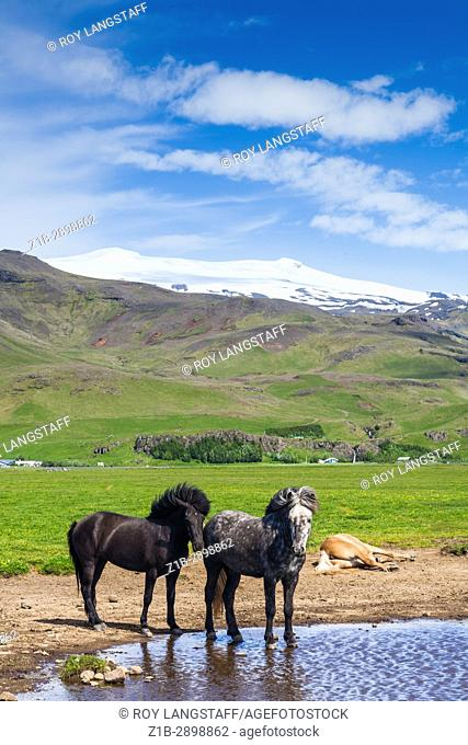 Icelandic horses in the shadow of the Eyjafjallajokull volcano