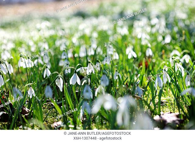 Perfectly Peaceful Scene Field of Snowdrops on a Sunny Day