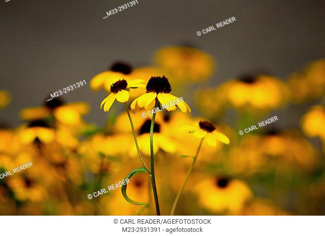 Black-eyed susans centered in soft-focus, Pennsylvania, USA
