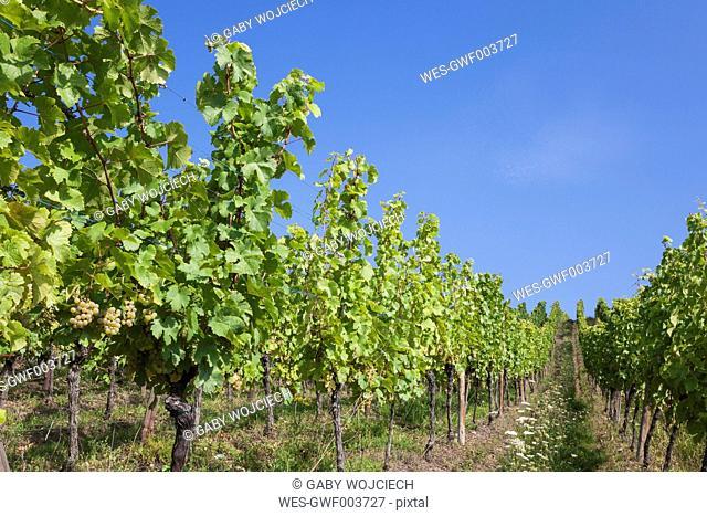 France, Alsace, Alsatian Wine Route, Haut-Rhin, Riquewihr Region, vineyards