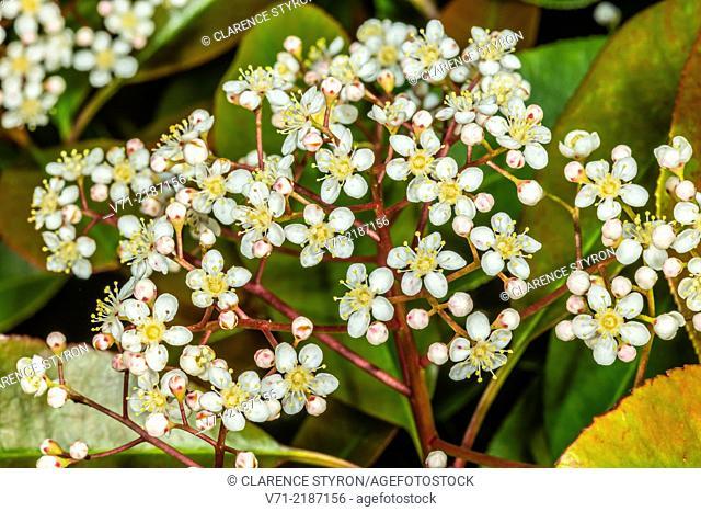 Red Tip (Photina sp.) Spring Flowers