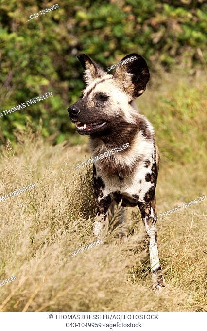 African Wild Dog Lycaon pictus - Photographed in captivity  Harnas Wildlife Foundation, Namibia