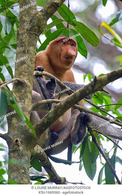 Male proboscis monkey, Narsalis larvatus is only found on Borneo  Proboscis monkeys are listed as endangered by the IUCN Red List  Adolescent male proboscis...