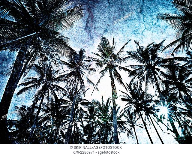 Looking up into over hanging coconut palm trees on the island of Siargao in the Philippines