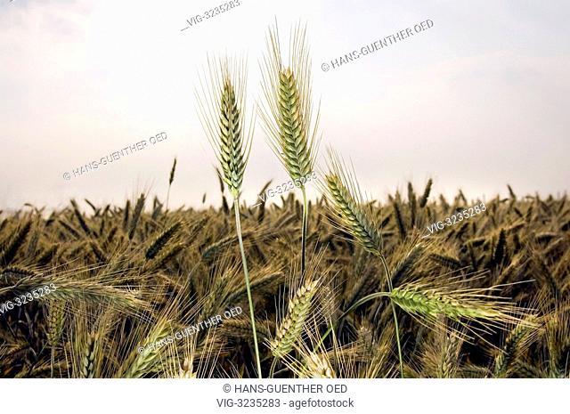 30.07.2012, Bruchhausen, GER, Germany, almost ripe barley in a field - Bruchhausen, Rhineland-Pala, Germany, 30/07/2012