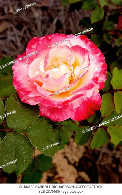 Hybrid rose in pink and white