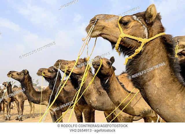 Nagaur Cattle Fair, Rajasthan