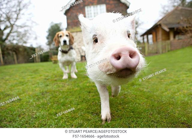 Miniature domestic pig with Basset Hound friend