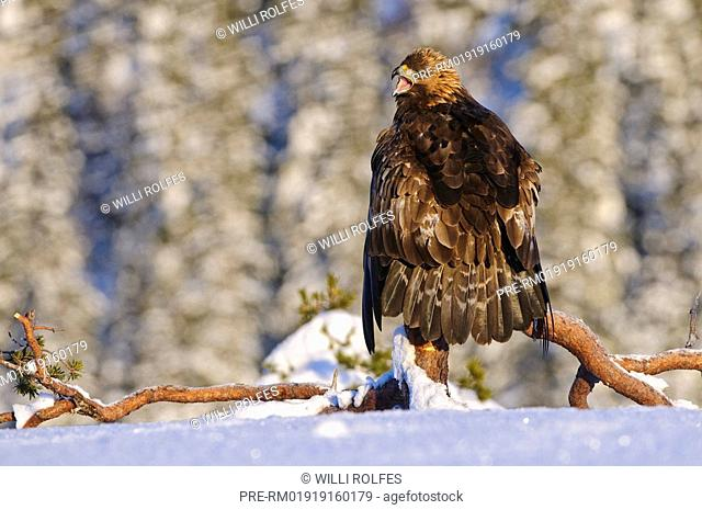 Bald Eagle in winter, Aquila chrysaetos, Norway, Scandinavia, Europe