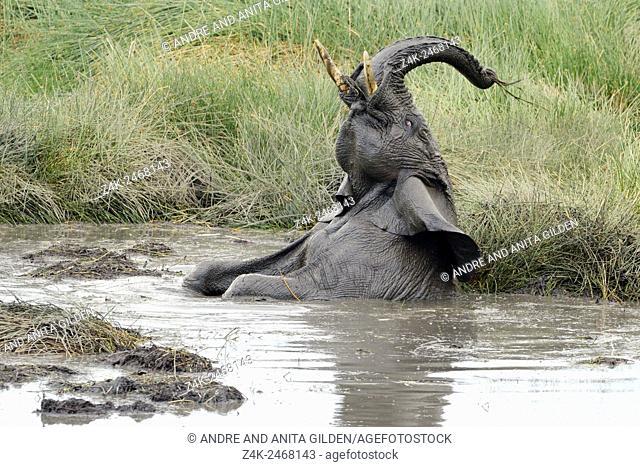 African Elephant (Loxodonta africana) playing in mud and water at Ndutu marsh, serengeti national park, Tanzania