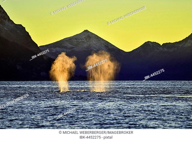 Orcas (Orcinus orca) blowing, sunset, mountains at back, Kaldfjorden, Tromvik, Norway
