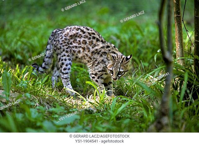 TIGER CAT OR ONCILLA leopardus tigrinus