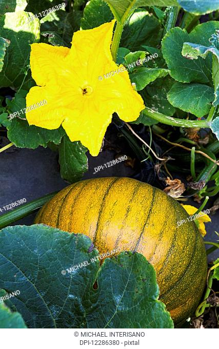 Close up of an orange and green round squash and blossom on the vine; Innisfail, Alberta, Canada