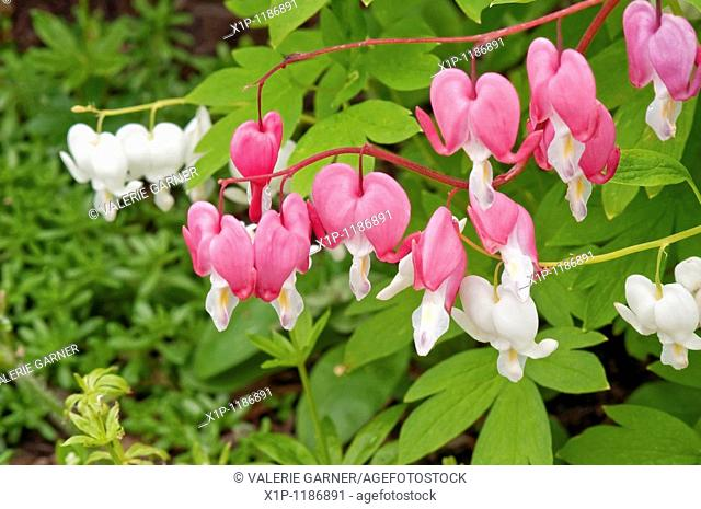 This macro image is of Dicentra spectabilis plants, otherwise known as the perennial bleeding heart flowers This stock photo shows both white and pink varieties...