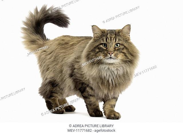 Cat Norwegian Forest Cat