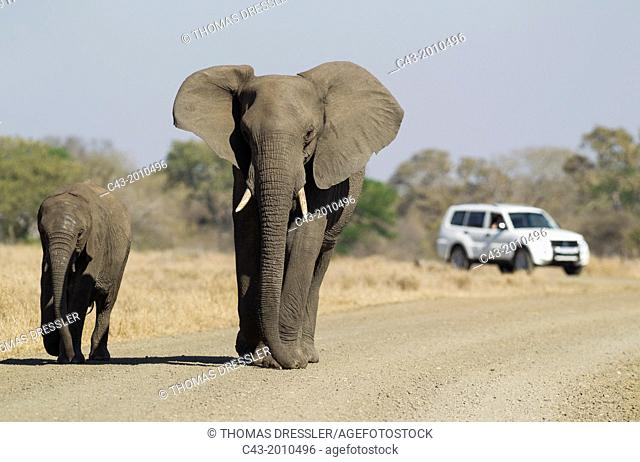 African Elephant (Loxodonta africana) - Cow with calf strolling on a gravel road while being observed by park visitors. Kruger National Park, South Africa