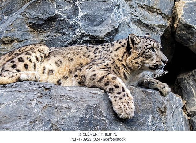 Snow leopard / ounce (Panthera uncia / Uncia uncia) resting on rock ledge in cliff face, native to the mountain ranges of Central and South Asia