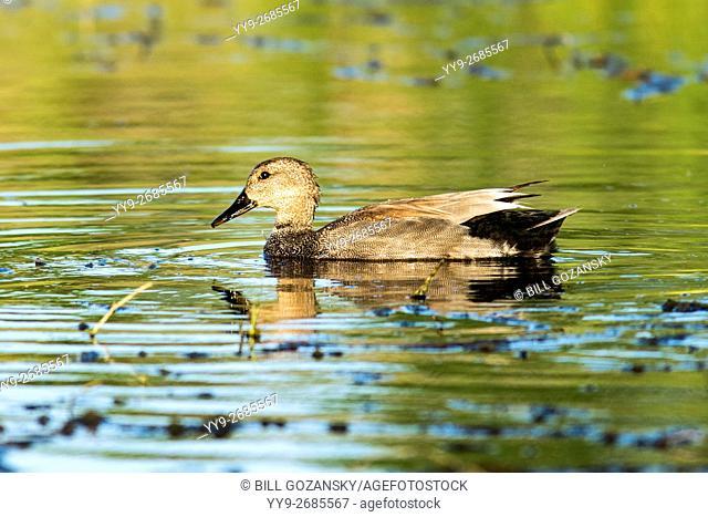 Male Gadwall Duck (Anas strepera) - Camp Lula Sams, Brownsville; Texas, USA