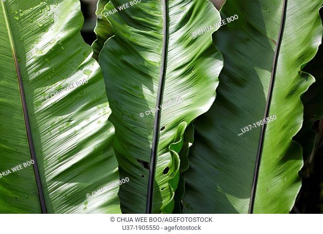 Fern leaves. Image taken at Orchid Garden, Kuching, Sarawak, Malaysia
