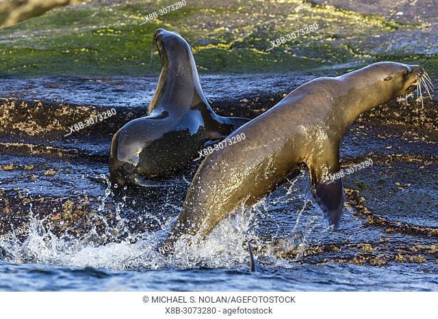 Young California sea lions, Zalophus californianus, mock fighting, Isla San Pedro Martir, Baja California, Mexico